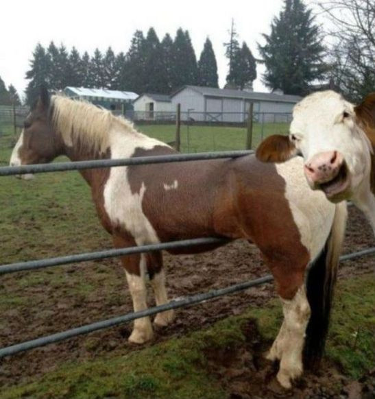 cow-photobomb